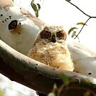Cute Furry Owl  by DARRIN ALDRIDGE