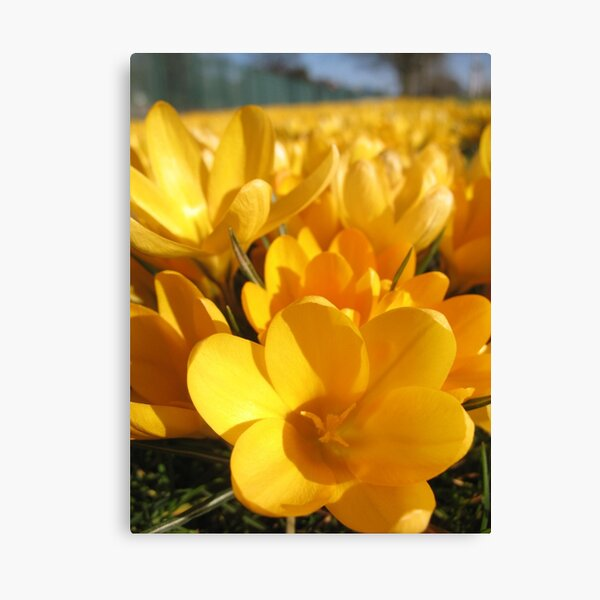 Golden Crocuses Canvas Print