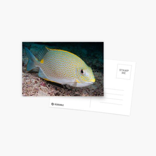 Golden Rabbitfish, Kapalai, Sabah, Malaysia Postcard