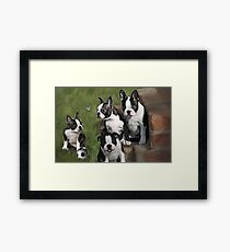 Boston Terrier Puppies.... Framed Print