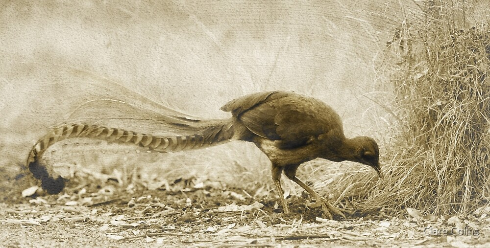 Lyrebird hunting by Clare Colins