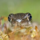 Peron's Tree Froglet by Andrew Trevor-Jones