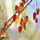 Silver Birch Seeds by Danielle Knight