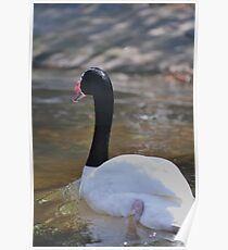 swan stroll Poster