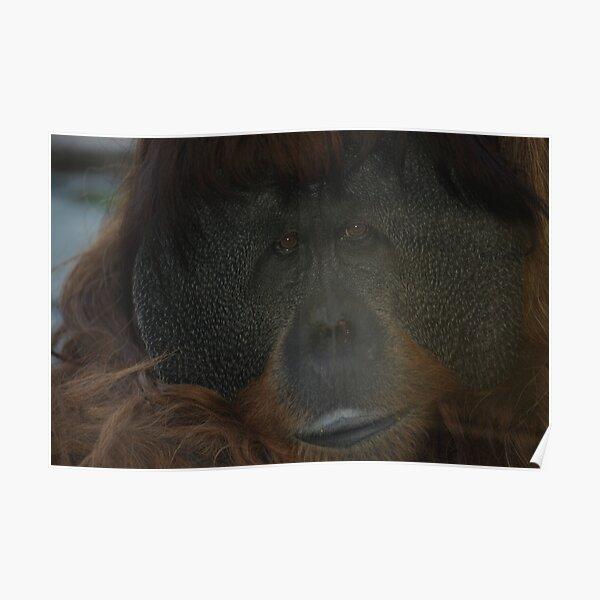 Male Orangutan Poster