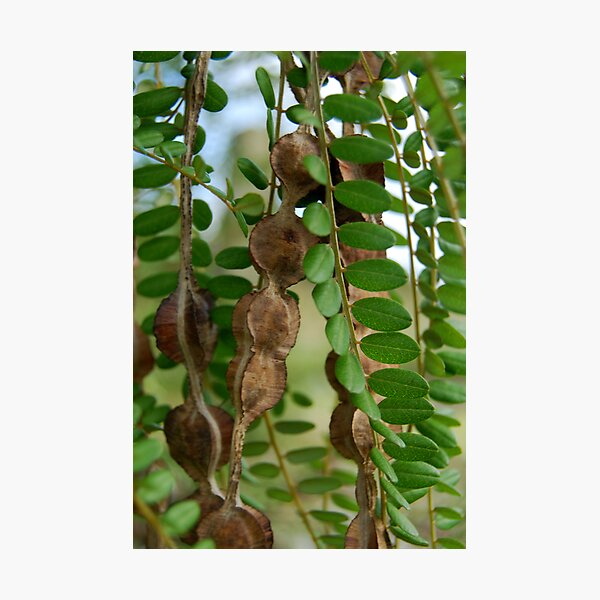 Kowhai seed pods and leaves Photographic Print