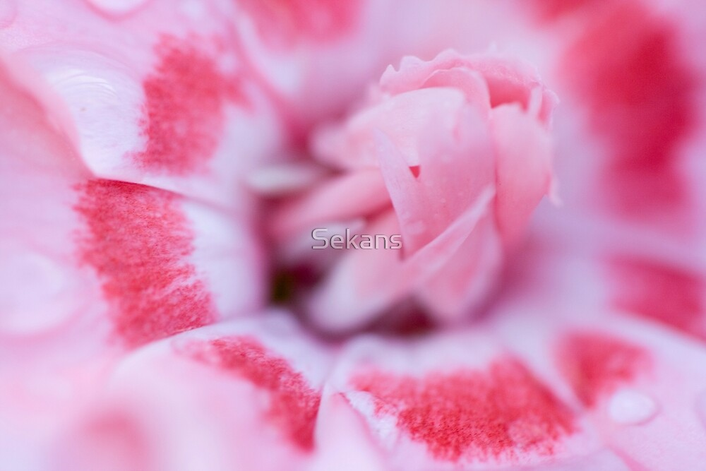 Carnation by Sekans