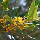 Myrtaceae  Water gum by Lozzar Flowers & Art