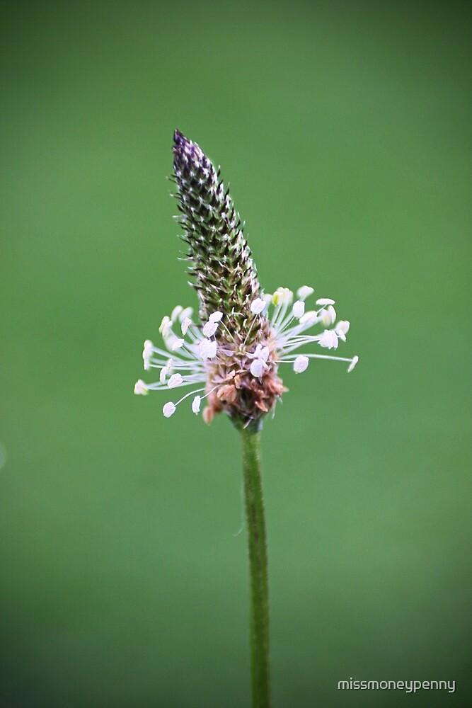English plantain - wildflower by missmoneypenny