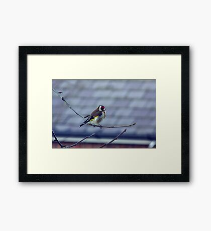 Goldfinch Framed Print