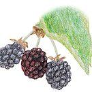 Blackberries by Linda Ursin