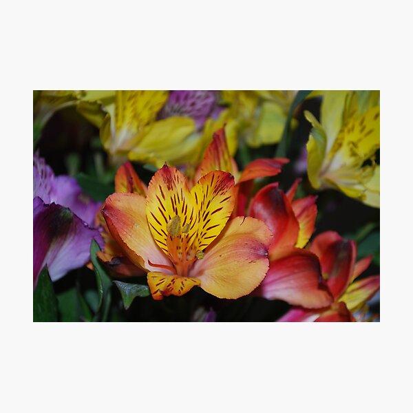 Alstroemeria Photographic Print