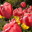 Spring Tulips Photography Print by griffingphoto