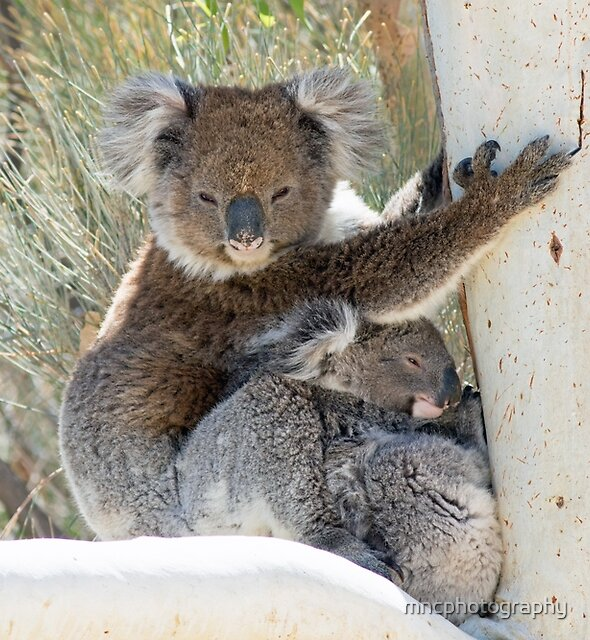 Wild Koala and Joey by mncphotography