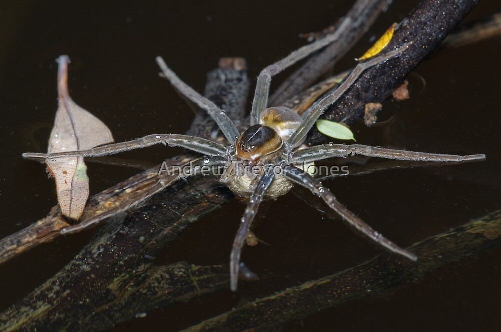 Water Spider with Eggs by Andrew Trevor-Jones