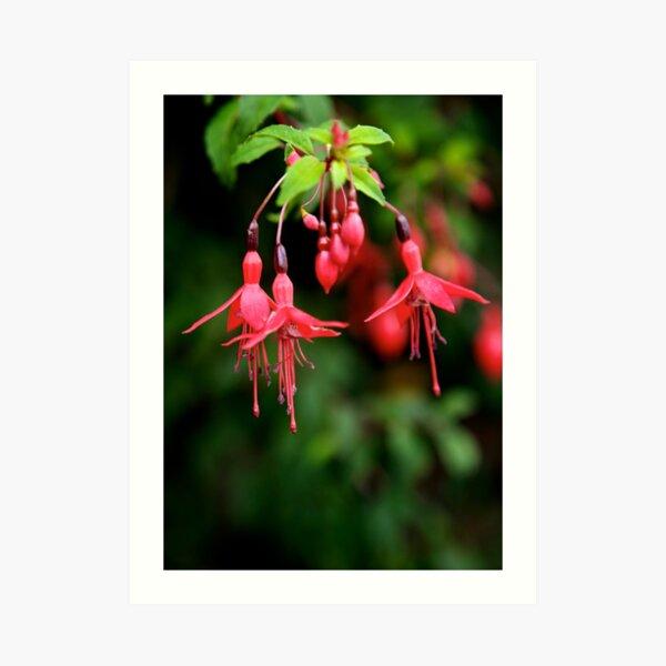 Fuchsia Hedge at Loch Na Fooey 3 Art Print