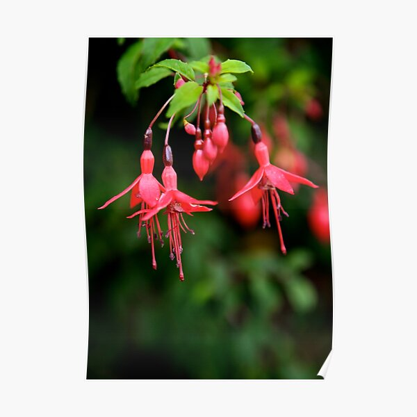 Fuchsia Hedge at Loch Na Fooey 3 Poster
