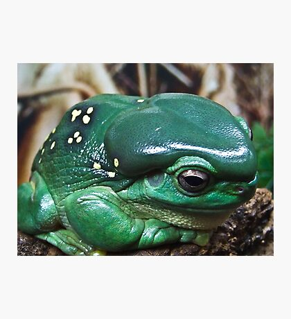 GREEN TREE FROG - Queensland Photographic Print