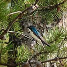 Blue Swallow in a Tree Photography Print by griffingphoto