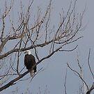 Bald Eagle by Jody Johnson