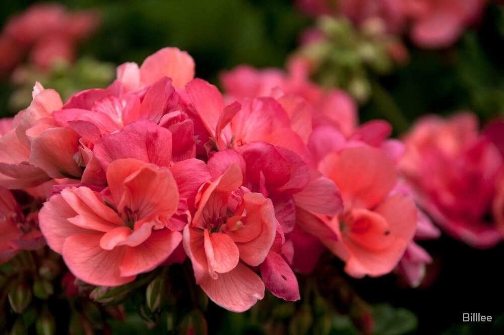 Salmon Pink Geranium. by Billlee