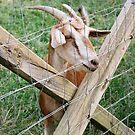 Goats 2 by JMerriman