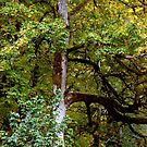 A TREE IN THE ELWHA VALLEY by Elaine Bawden