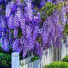 Welcome Wisteria by Michael Matthews