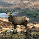 The Glen Etive Stag Scotland by Martin Lawrence