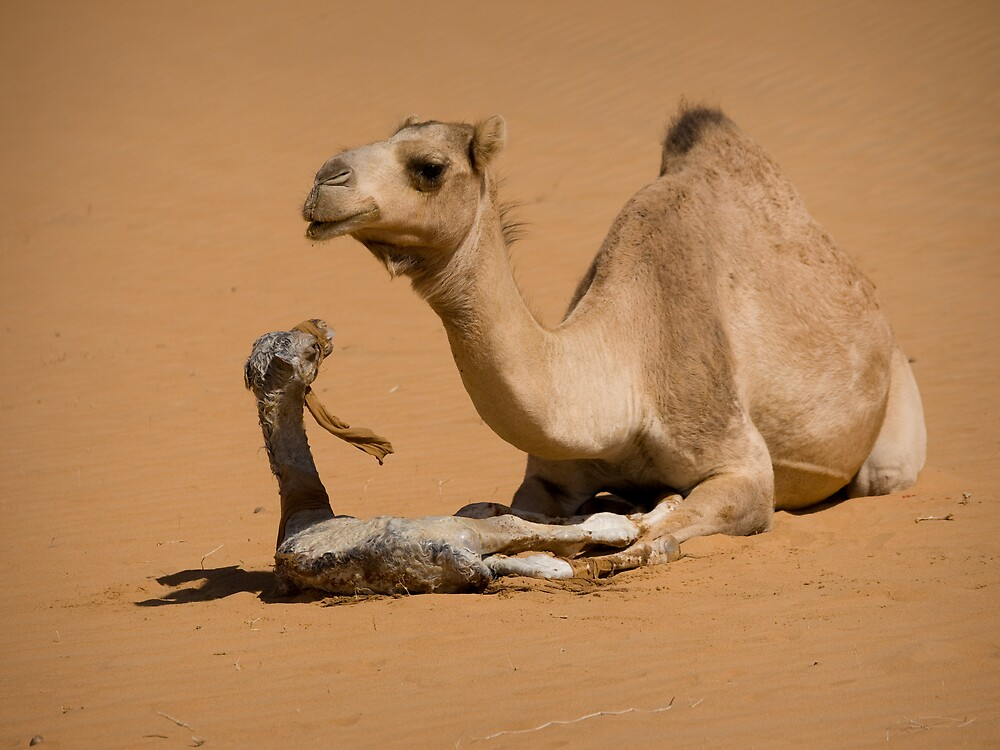 Quot Newborn Camel Yemen Quot By Lisa Germany Redbubble