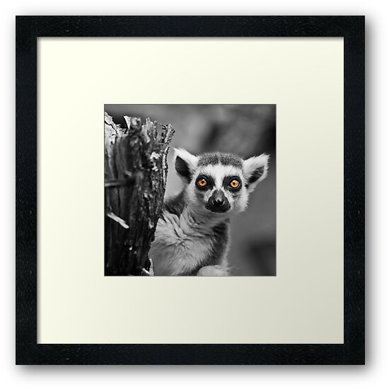 Ring-tailed Lemur by Larrikin  Photography