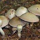 Horse Mushroom by Robert Abraham
