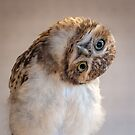 Burrowing owl (Athene cunicularia) by Stephen Liptrot
