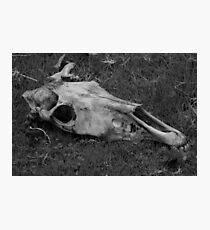 Horse Skull on Grass Photographic Print