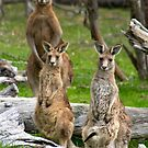 Eastern Grey Kangaroos by Sekans