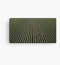 Cotton field in the countryside Canvas Print