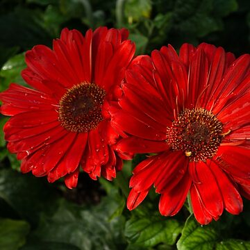 The Glorious Red Duo - Two Scarlet Gerbera Daisies  by GeorgiaM