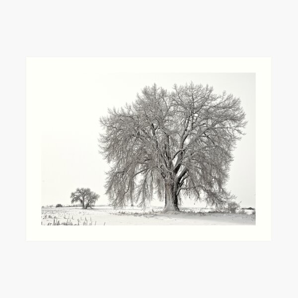 Frosted Cottonwoods Art Print