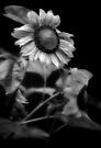 Sunflower Without Sun by Dave  Higgins