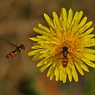 Two Marmalade Hoverflies by Robert Abraham