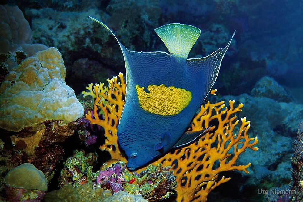 Angelfish | I am the emperor in my area | by Ute Niemann