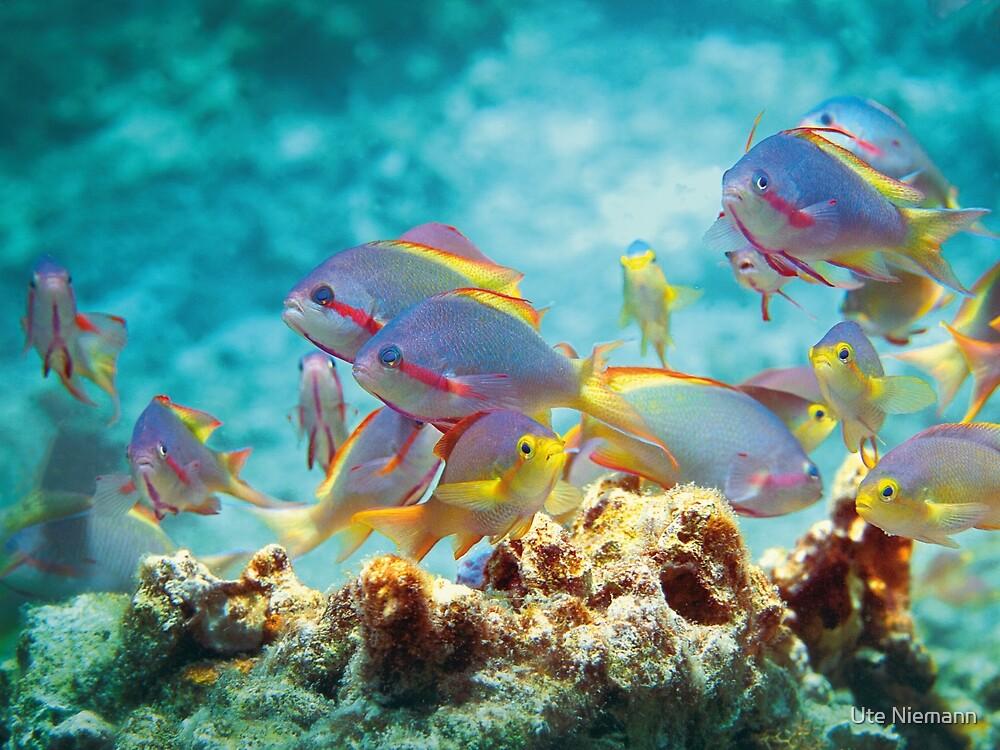 Fahnenbarsche | Buntes Treiben im Korallenriff von Ute Niemann