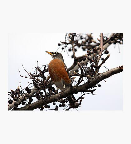 American Robin Photographic Print