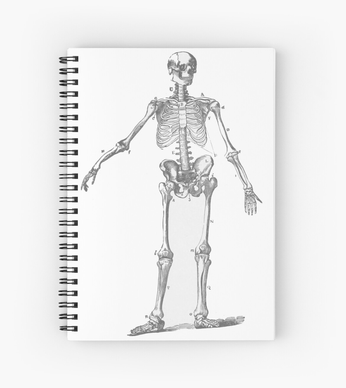 The human skeleton as a pencil drawing