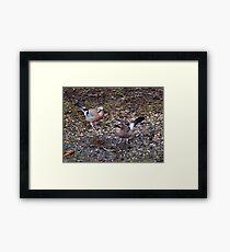 Two Jays Framed Print