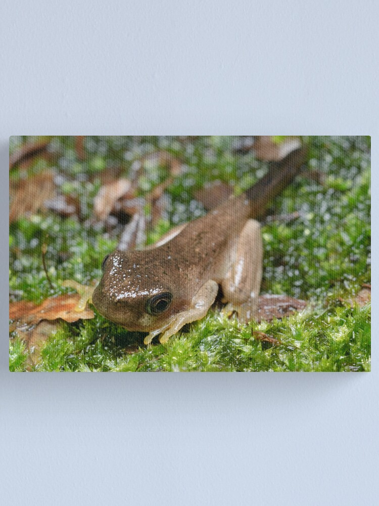 Alternate view of Peron's Tree Froglet Canvas Print