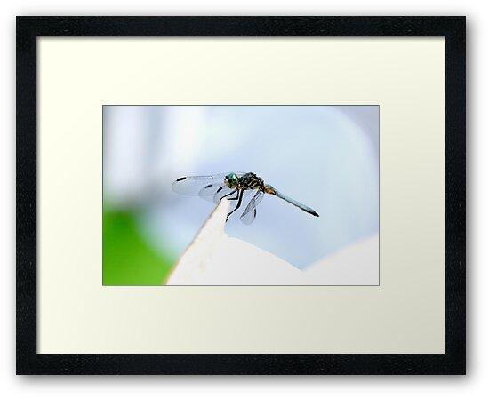 Perched Blue Dasher Dragon by DARRIN ALDRIDGE