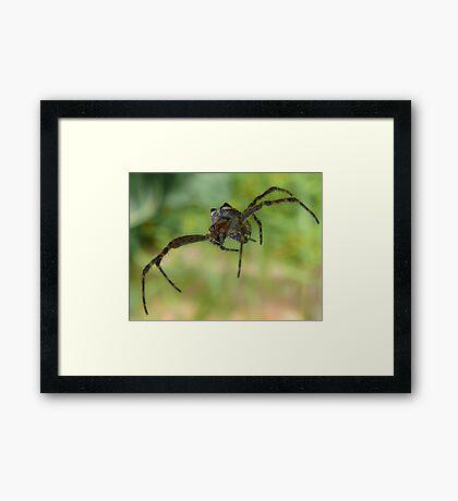 Flying spider Framed Print