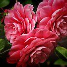 Camellias by Barbara  Brown
