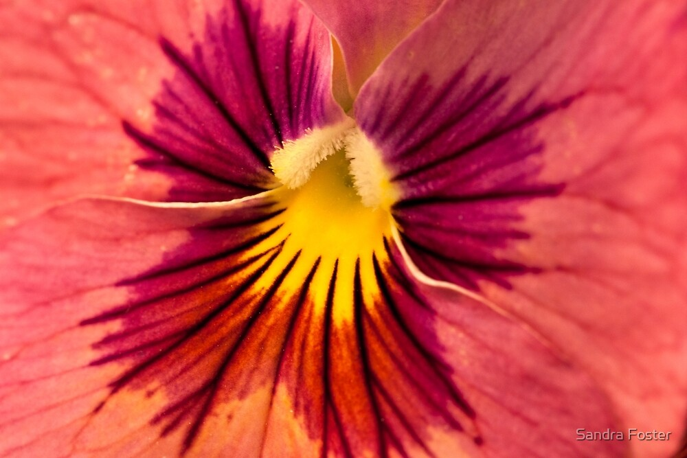 Pansy Macro  by Sandra Foster